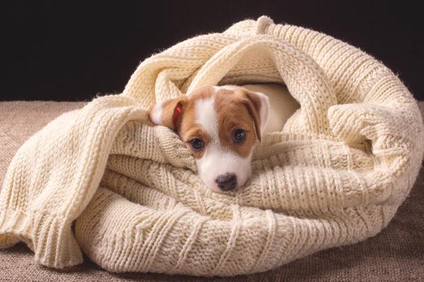 blanket-dog-_683824972